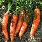 zanahoria ecologica campo