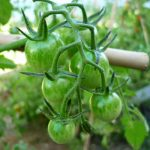 planta tomate ecologico cherry