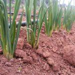 ajos tiernos ecologicos campo
