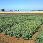 campo garbanzos ecologicos