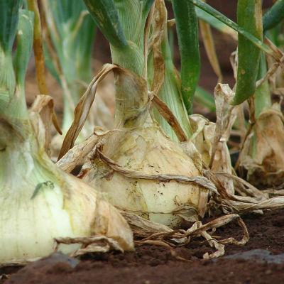 planta cebolla ecologica