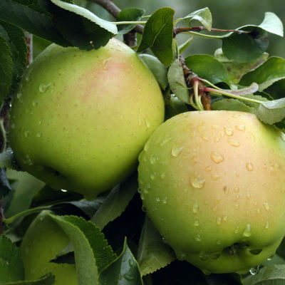 arbol manzana golden ecologica