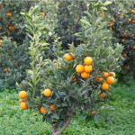 naranjo ecologico valencia