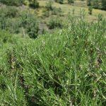 planta romero ecologica