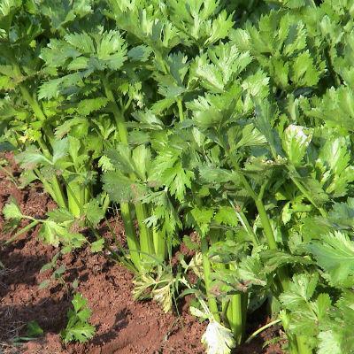 Apio ecológico planta