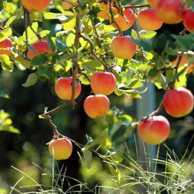 albaricoque ecologico arbol