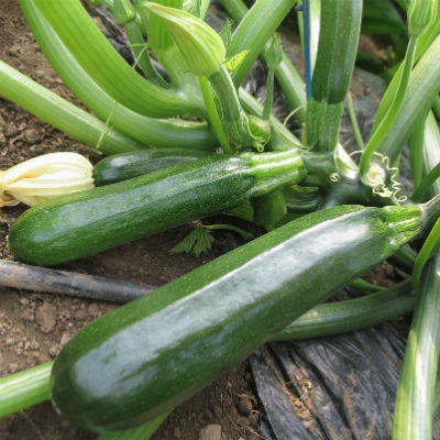 calabacín ecológico planta
