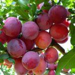 ciruela roja ecologica arbol
