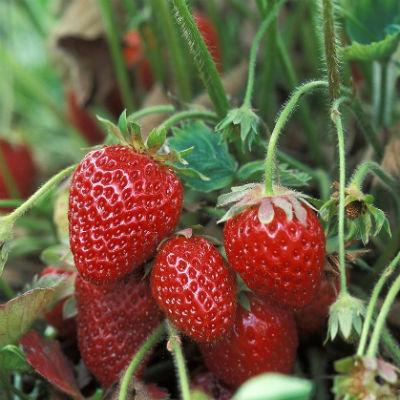 fresas ecologicas planta