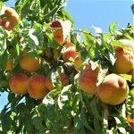 melocoton ecologico arbol