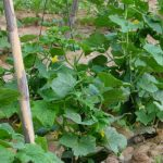 pepino ecologico planta