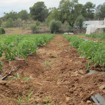 tomate de pera ecológico