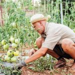 tomate valenciano campo
