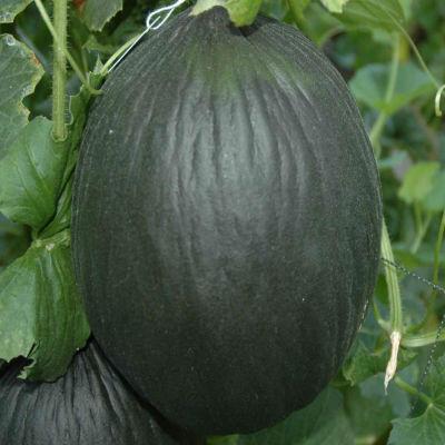 melón tendral ecológico