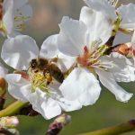 miel ecológica almendro