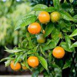 mandarina ecológica árbol