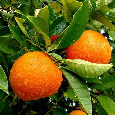 mandarinas ecológicas