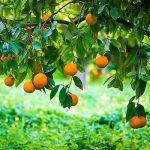 naranja ecológica arbol