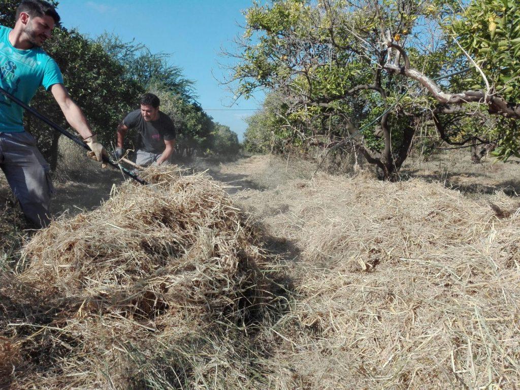 Paja de arroz cultivo ecológico Valencia