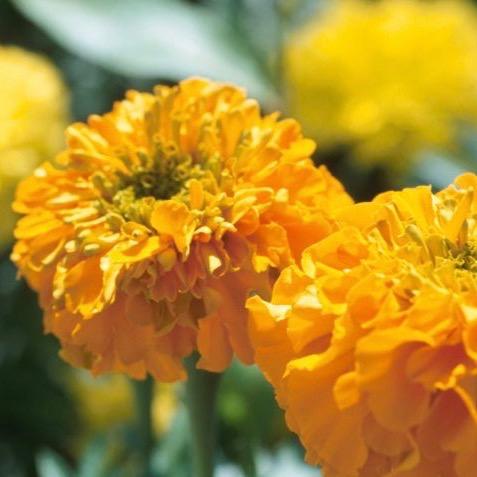 Ramo flores tagete ecologico