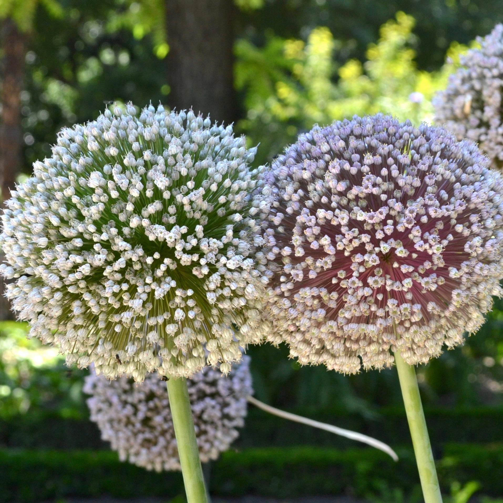 flor de puerro ecologico