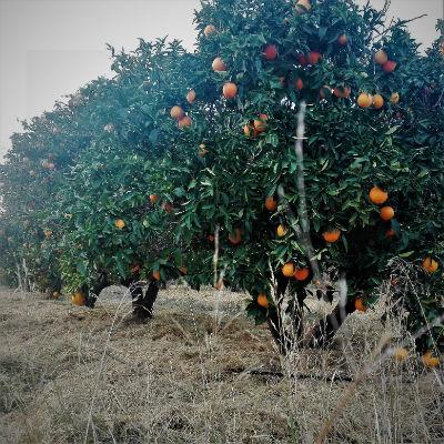 naranjo navelina ecológica