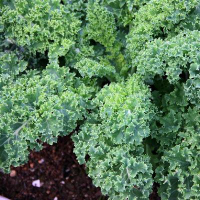kale planta ecologica