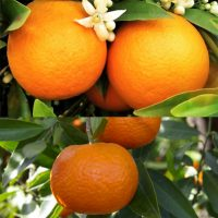 orange and mandarin organic
